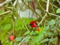 Crimson Sunbird (Aethopyga siparaja) (8066319574).jpg