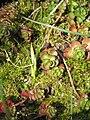Crocus longiflorus buds.jpg