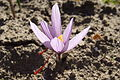 Crocus sativus, saffron (39).jpg