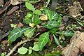 Crossandra pungens-Jardin botanique Jean-Marie Pelt (2).jpg
