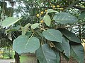 Croton magdalenensis.JPG