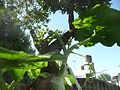 "Cucurbita maxima ""zapallo plomo"" (Costanzi temp2) yema floral masculina F03 pétalos tricomas.JPG"