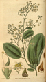 Curtis's Botanical Magazine, Plate 3058 (Volume 58, 1831).png