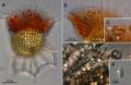 Cyanobacterial symbionts of Ornithocercus dinoflagellates.webp