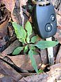 Cyanthillium cinereum leaf5 - Flickr - Macleay Grass Man.jpg