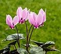 Cyclamen hederifolium. Locatie, Tuinreservaat Jonker vallei 03.jpg