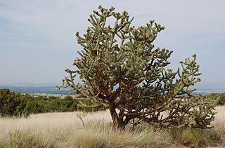 <i>Cylindropuntia imbricata</i> Species of cactus