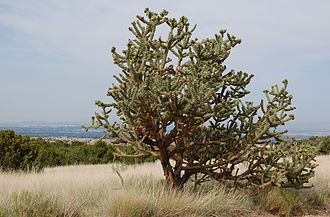 Cylindropuntia imbricata - Image: Cylindropuntia spinosior, July Albuquerque
