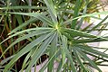 Cyperus papyrus 6zz.jpg