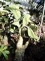 Cyphostemma juttae - Lyman Plant House, Smith College - DSC04321.JPG