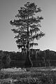 Cypress at Mayes Lake.jpg