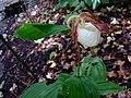 Cypripedium kentuckiense in the Missouri Botanical Garden.jpg
