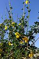 Cytisus arboreus41.jpg