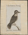 Dacelo gigas - 1772-1829 - Print - Iconographia Zoologica - Special Collections University of Amsterdam - UBA01 IZ16800177.tif