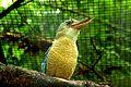 Dacelo leachii -Harewood Bird Garden, Leeds, England-8a.jpg
