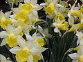 Daffodils phs 2010.jpg