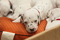 Dalmatian puppy, three weeks..JPG