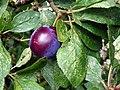 Damson (Prunus domestica subsp. insititia) (19884486631).jpg