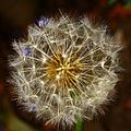 Dandelion seed head on black background.jpg
