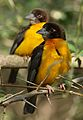Dark-backed weaver, Ploceus bicolor, also known as the forest weaver at Ndumo Nature Reserve, KwaZulu-Natal, South Africa (28299135704).jpg