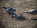 Dead Baby Elephant Seal - Flickr - GregTheBusker.jpg