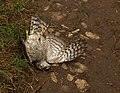 Dead sparrowhawk at Ham - geograph.org.uk - 1534276.jpg