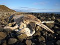 Dead whale on beach at Chippermore - geograph.org.uk - 759547.jpg