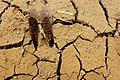 Deer Footprint near Eggardon Hill - geograph.org.uk - 1259769.jpg