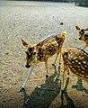 Deer in 2020.01.jpg