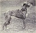 Deerhound from 1915.JPG