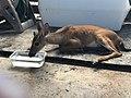 Dehydrated key deer (36952540200).jpg
