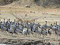 Demoiselle Cranes Grus virgo Porbandar by Dr. Raju Kasambe DSCN5900 (3).jpg