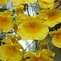 Dendrobium lindleyi - Flickr - treegrow.jpg