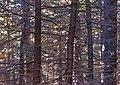 Dense balsam fir near West Kill Mountain summit, Spruceton, NY.jpg