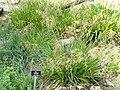 Deschampsia cespitosa - Botanischer Garten Freiburg - DSC06452.jpg