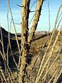 Desert Trees - panoramio.jpg