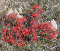Desert paintbrush Castilleja chromosa clump.jpg