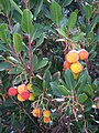 Detail of a Strawberry Tree (Arbutus unedo) - geograph.org.uk - 1671806.jpg