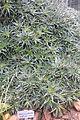 Deuterocohnia lotteae (Abromeitiella lotteae) - Botanischer Garten, Dresden, Germany - DSC08831.JPG