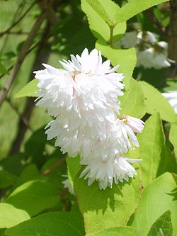 Deutzia crenata for. plena's flowerage 01.JPG