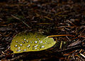 Dew on Aspen Leaf (3969324734).jpg