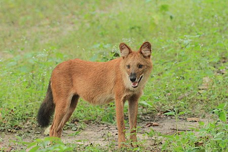 Dhole or Wild dog (79).jpg