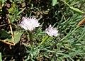 Dianthus anatolicus kz01.jpg