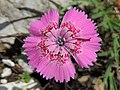 Dianthus callizonus 5.JPG