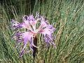 Dianthus superbus DSCF4709.JPG