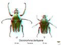 Dicronorhina derbyana en 3D.png