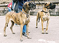 Pictures of Great Danes