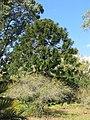 Domaine du Rayol - Araucaria bidwilii.jpg