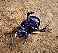 Dor Beetle Anoplotrupes stercorosus (49355809762).jpg