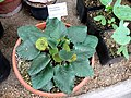 Dorstenia brasiliensis 1.jpg